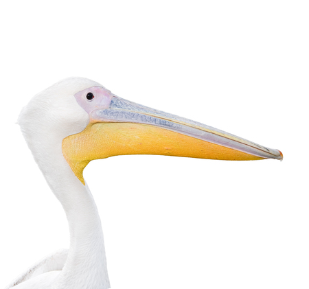Big beautiful white pelican portrait isolated on white. Funny cute zoo bird. Pelican - large water bird on white Banco de Imagens - 120461745