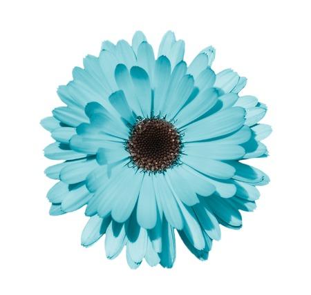 Margherita blu o camomilla isolata su fondo bianco. Fine della testa di fiore della camomilla su. Messa a fuoco profonda. Archivio Fotografico