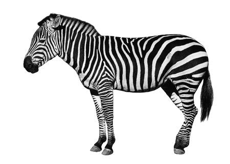 Junges schönes Zebra getrennt auf weißem Hintergrund. Zebra hautnah. Zebra-Ausschnitt in voller Länge. Zoo Tiere.
