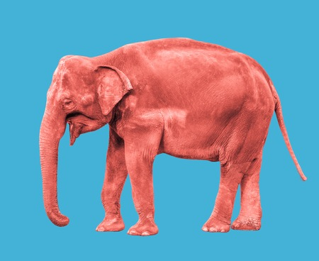 Pink or coral colored Elephant close up. Big walking elephant isolated on blue background. Standing elephant full length close up. Female Asian elephant.