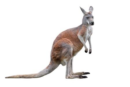 Canguro macho aislado sobre fondo blanco. Grandes longitudes completas de canguro, vista lateral. El canguro es un marsupial de la familia Macropodidae.