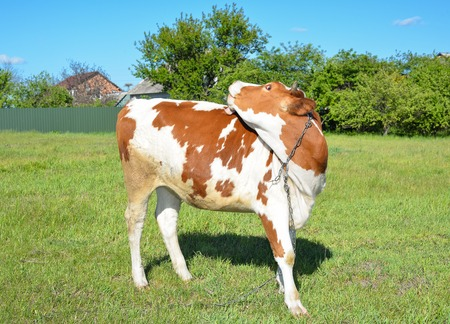 Cow grazing on the farm and looking into camera. Red and white young spotted cow grazing on a pasture.