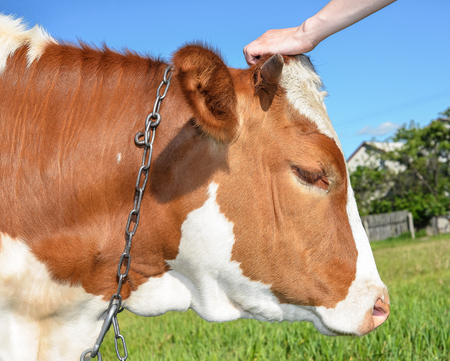 Portrait of Cow grazing on the farm and human hand scratching a cows head. Red and white young spotted cow grazing on a pasture.