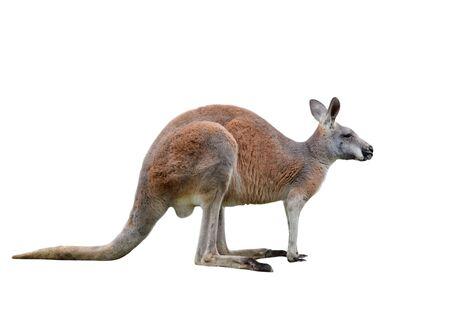 Canguro macho aislado sobre fondo blanco. Gran canguro de longitud completa, vista lateral. El canguro preparándose para saltar. Zoológico de animales.