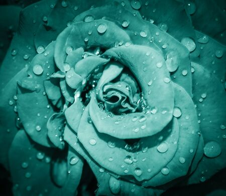 Blue Rose flower head close up. Rose with water drops. Top view, deep focus. Petals of a rose close up view Stock fotó
