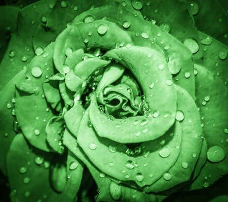 Green Rose flower head close up. Rose with water drops. Top view, deep focus. Petals of a rose close up view Stock fotó