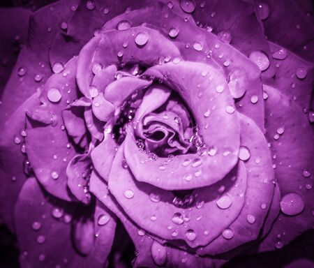 Purple Rose flower head close up. Rose with water drops. Top view, deep focus. Petals of a rose close up view