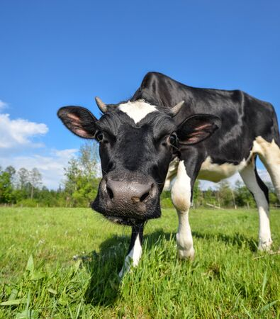 The portrait of cow with big snout on the background of green field. Farm animals. Grazing cow