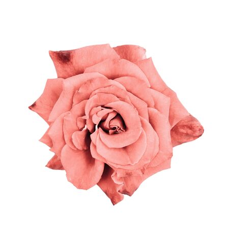 Beautiful faded coral rose close up. Tender rose head isolated. Garden flowers. Deep focus. Top view. Stock fotó
