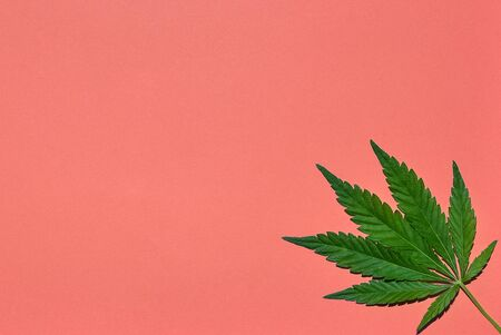 Hemp or cannabis leaves bright coral background. Top view, flat lay. Template or mock up.