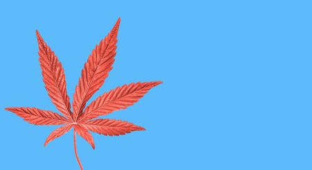 Coral painted Hemp or cannabis leaf isolated on blue background. Top view, flat lay. Template or mock up.
