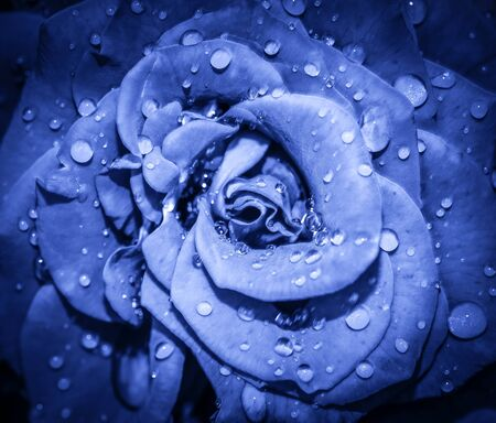 Navy blue Rose flower head close up. Rose with water drops. Top view, deep focus. Petals of a rose close up view