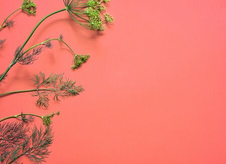 Sprig of dill isolated on pink background. Top view, flat lay. Dill with flowers. Copy space. Stock fotó