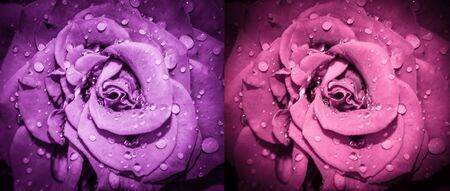 Rose flowers collage. Roses macro photo. Top view. Long banner.
