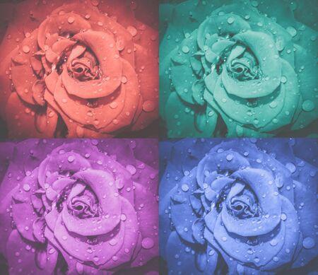 Rose flowers collage. Roses macro photo. Top view. Stock fotó
