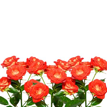 Roses isolated on vhite background. Copy space. Coral or red-orange rose branches isolated on white background