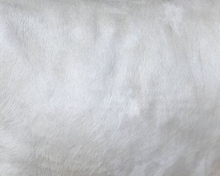 Cowhide close up. White hair cow skin. Real genuine natural fur, free space for text. Texture of a white cow coat. White fur background. Stock fotó