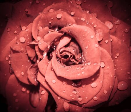 Red Rose flower head close up. Rose with water drops. Top view, deep focus. Petals of a rose close up view