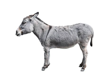 Donkey full length isolated on white. Funny gray donkey standing in front of camera. Farm animals. Stock fotó