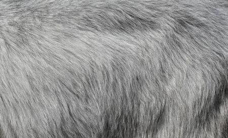 Gray goat fur background. Light gray fur texture close up