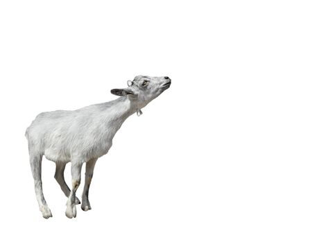 Goat isolated on white background. Very funny white goat standing full length cut out. Farm animals. Copy space. Stock fotó