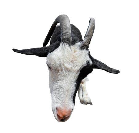 Goat isolated on white background. Goat muzzle with long horns close up. Funny goat. Farm animals.