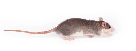 Funny young rat isolated on white. Rodent pets. Domesticated rat close up.