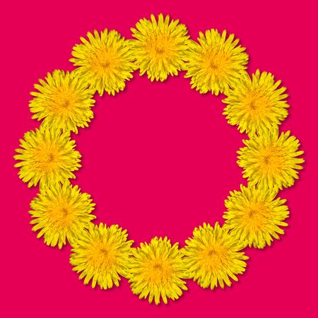 Yellow flowers arranged in a round frame isolated on bright pink background. Floral frame from dandelions. Copy space. Stockfoto