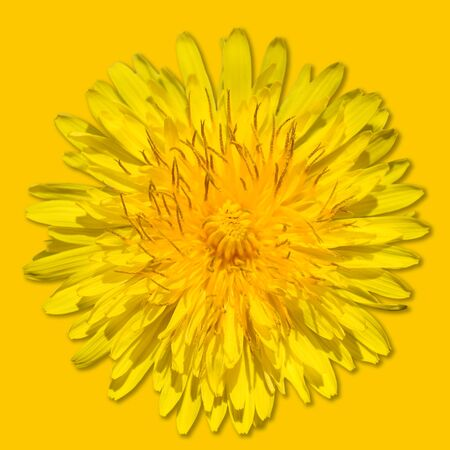 Dandelion flower isolated on yellow background. Bright yellow dandelion close up. Flower head. Monochrome