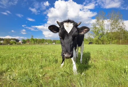Animal big snout. The portrait of cow with big snout on the background of green field. Farm animal. Grazing cow