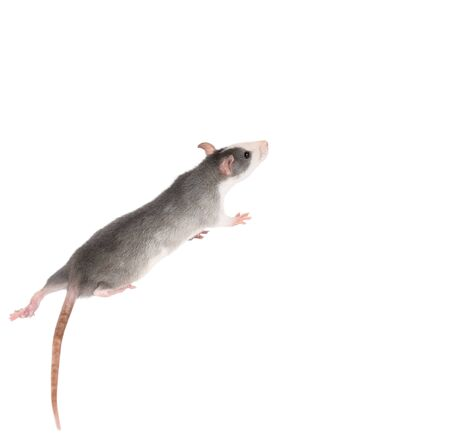 Funny gray rat isolated on white. Rodent pets. Domesticated rat close up. Symbol of 2020 year 写真素材