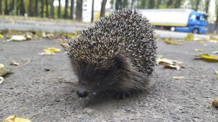 Funny Hedgehog close up. Hedgehog in urban background.