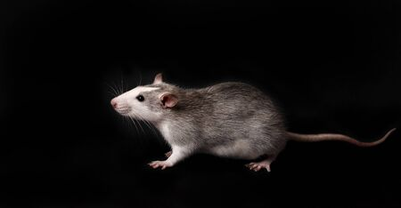 Gray rat isolated on black background. Rodent pets. Domesticated rat close up.