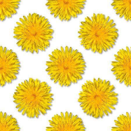 Seamless yellow flower pattern on white background. Dandelion flower summer background close up.
