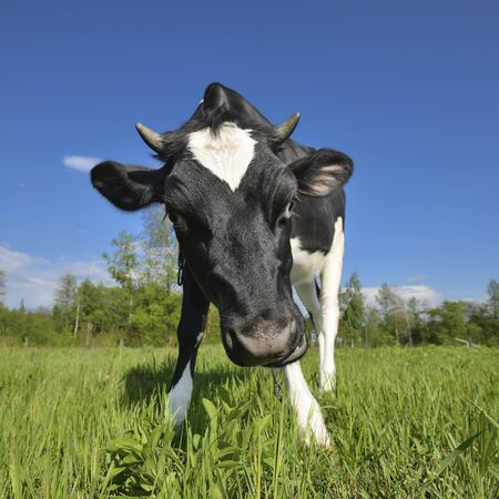 The portrait of cow sniffing a camera on the background of green field. Farm animals. Cow grazing on the farm