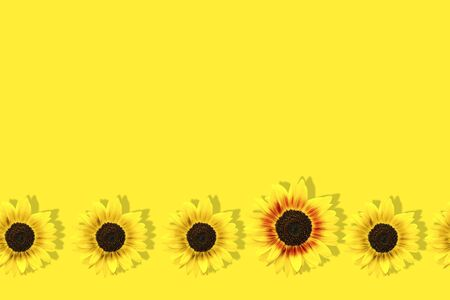 Unique big yellow sunflower among many small yellow sunflowers isolated on yellow background. Pop art design, creative summer concept. Individuality and difference concept. Copy space Stock Photo