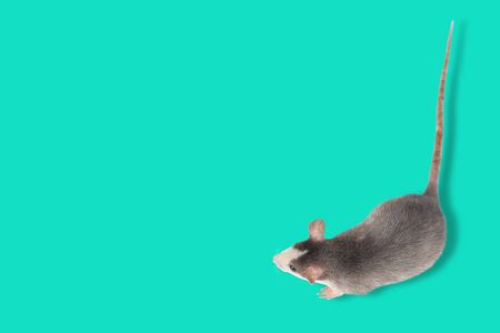 Funny young rat isolated on blue or mint background. Rodent pets. Domesticated rat close up. Top view on rat. Copy space