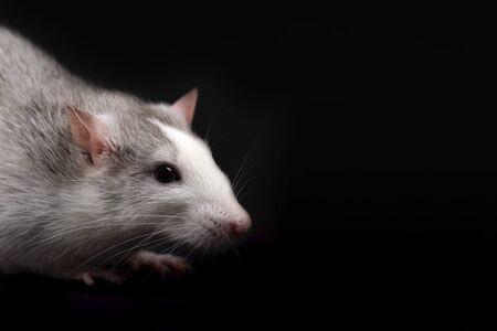 Portrait of gray rat with white nose isolated on black background. Rodent pet. Domesticated rat close up. The rat is looking away Stock Photo