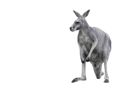 Male kangaroo isolated on white background. Big kangaroo full lengths, front view. The kangaroo is a marsupial from the family Macropodidae. Copy space,