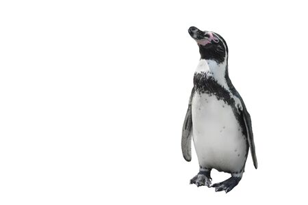 Funny standing penguin full length isolated on white. African penguin close up. Wild or zoo animals. Copy space