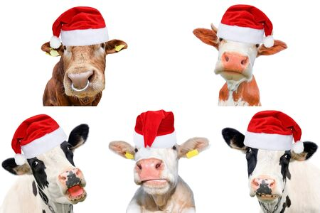 Collage of isolated cows, bulls and cattles on white background. New year or christmas animals concept. Cow in Santa Claus hat