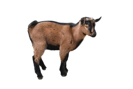 Brown kid Goat standing full length isolated on white. Funny female goat kid close up. Farm animals. Side view