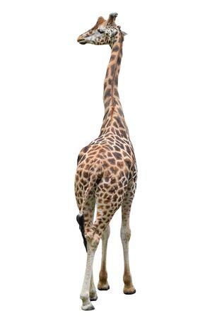 Lustige Giraffe, die in voller Länge lokalisiert auf weißem Hintergrund steht. Gehende Giraffe hautnah. Zootiere isoliert. Giraffe, die etwas beiseite sieht Standard-Bild