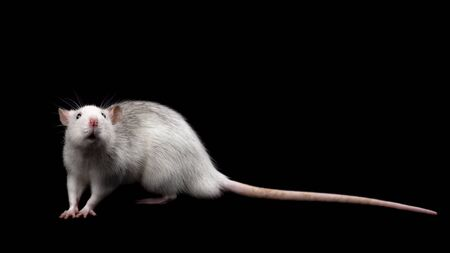 Gray rat isolated on dark black background. Rodent pet. Domesticated rat close up. The rat is looking at the camera. Copy space
