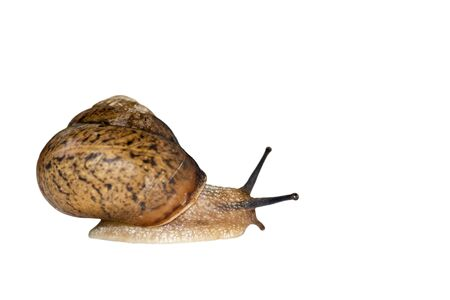 Beautiful little snail isolated on white background. Side view. Land Snail close up