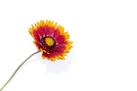 Gaillardia flower isolated on white background. Gaillardia close up. Summer wild flowers.