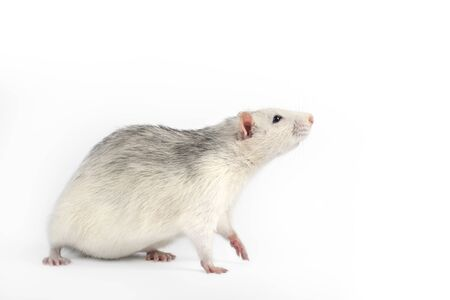 Funny and fat gray rat isolated on white background. Home pets concept. Rat full length cut out.
