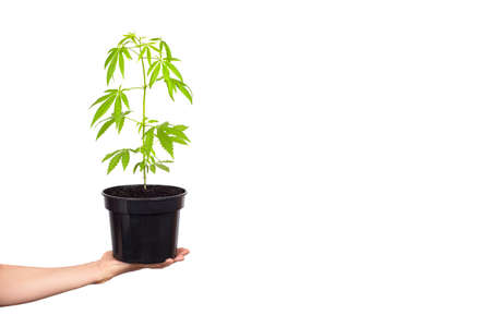Hand holding Hemp or cannabis plant in black flower pot isolated on white background. Banner with copy space. Alternative medicine or legalize cannabis concept