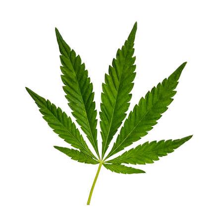 Green Cannabis leaf isolated on white. Hemp leaf cutout close up. Marijuana drugs is produced from Cannabis leaf.