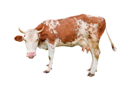 Cow isolated on white. Talking, Funny curious spotted cow. standing full-length in front of white background. Farm animals.